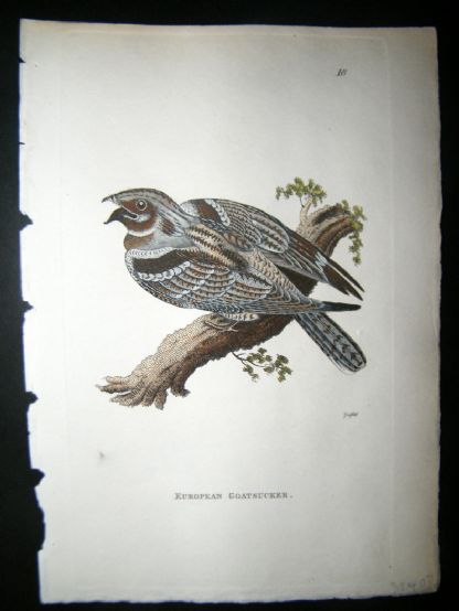 Shaw C1800's Antique Hand Col Bird Print. European Goatsucker